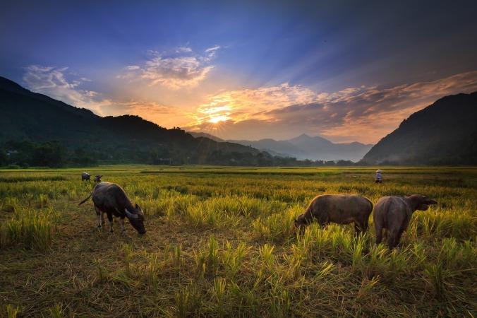 buffalo-on-the-rice-field-3344519_1280